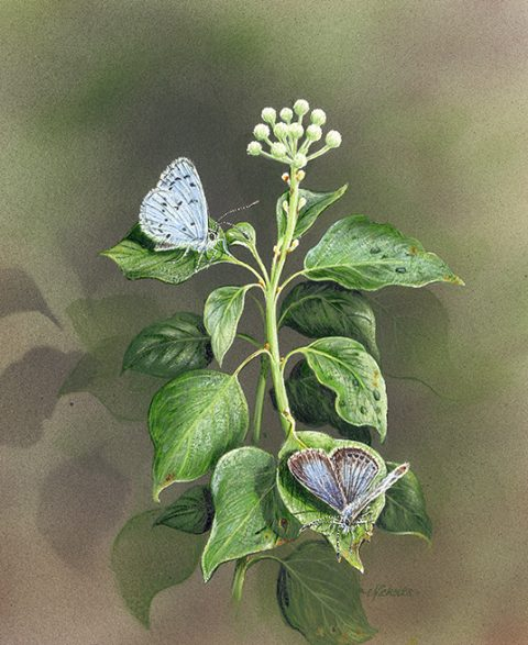 Blues on Ivy - a detailed wildlife painting by artist Nicholas Smith